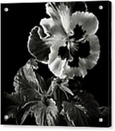 Pansy In Black And White Acrylic Print