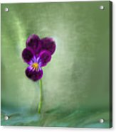Pansy Acrylic Print