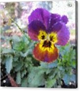 Pansy Perfection Acrylic Print