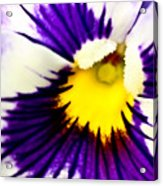 Pansy Violets Acrylic Print by Ryan Kelly