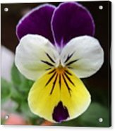 Pansy White Wings Acrylic Print