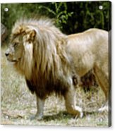 Papa Lion On The Prowl Acrylic Print