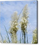 Papas Grass In The Sun Acrylic Print