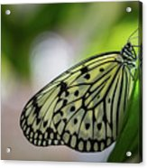 Paper Kite Butterfly- 2 Acrylic Print