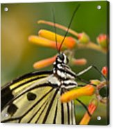 Paper Kite Butterfly With Orange Flower Acrylic Print