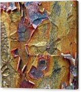 Paperbark Maple   Acrylic Print