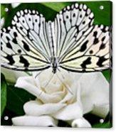 Paperkite On Gardenia Acrylic Print