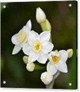 Paperwhites - Narcissus Papyraceus Acrylic Print