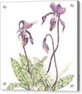 Paphiopedilium Percy Acrylic Print