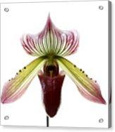 Paphiopedilum Lawrenceanum Acrylic Print