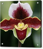 Paphiopedilum Orchid Acrylic Print