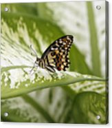 Papilio Demoleus Acrylic Print