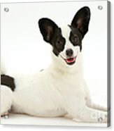 Papillon X Jack Russell Terrier Dog Acrylic Print