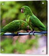Parakeet Couple Acrylic Print