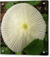 Parasol Mushroom Acrylic Print