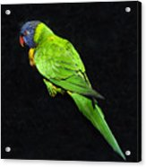 Parrot In Black Acrylic Print