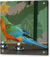 Parrot On Skates Acrylic Print by Ruth Hallam