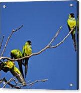 Parrot Squabble Acrylic Print
