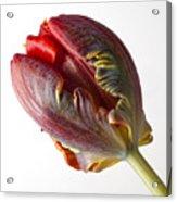 Parrot Tulip 1 Acrylic Print by Robert Ullmann