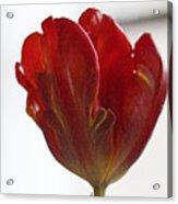 Parrot Tulip 10 Acrylic Print by Robert Ullmann