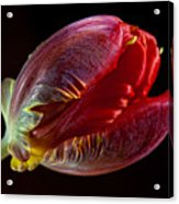 Parrot Tulip 11 Acrylic Print by Robert Ullmann
