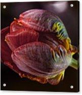 Parrot Tulip 4 Acrylic Print