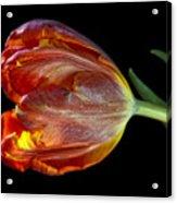 Parrot Tulip 6 Acrylic Print