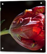 Parrot Tulip 7 Acrylic Print by Robert Ullmann