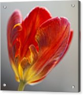 Parrot Tulip 9 Acrylic Print