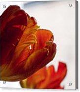 Parrot Tulips 18 Acrylic Print by Robert Ullmann