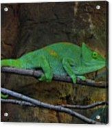 Parson's Chameleon Acrylic Print