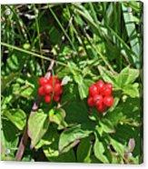 Partridgeberries Acrylic Print