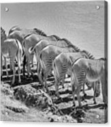 Party Of Eight  6973bw Acrylic Print