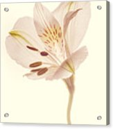 Pasae Alstroemeria By Flower Photographer David Perry Lawrence Acrylic Print