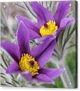 Pasque Flower Friends Acrylic Print