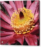 Pasque Flower Macro Acrylic Print