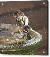 Pass The Towel Please: A House Sparrow Acrylic Print