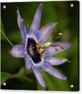 Passiflora Acrylic Print