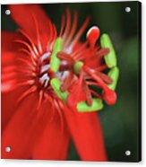 Passiflora Vitifolia Scarlet Red Passion Flower Acrylic Print