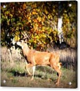 Passing Buck In Autumn Field Acrylic Print