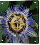 Passion Bloom Vi Acrylic Print