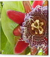 Passion Flower-1 Acrylic Print