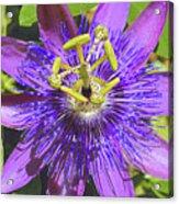 Passion Flower 2 Acrylic Print