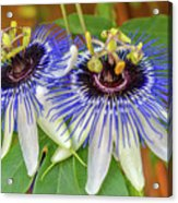 Passion Flower Power Acrylic Print