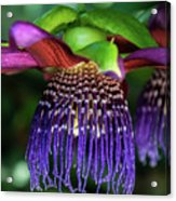 Passion Flower Ver. 10 Acrylic Print