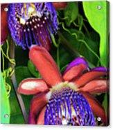 Passion Flower Ver. 12 Acrylic Print