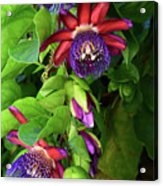 Passion Flower Ver. 16 Acrylic Print