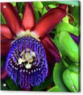 Passion Flower Ver. 17 Acrylic Print