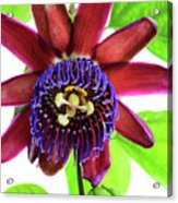 Passion Flower Ver. 5 Acrylic Print