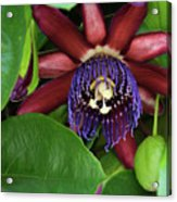 Passion Flower Ver. 8 Acrylic Print